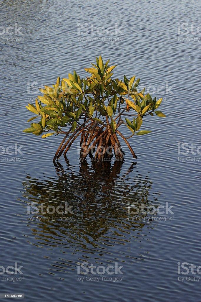 Young Mangrove Tree stock photo