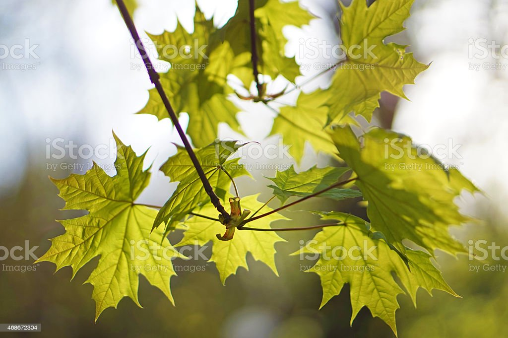 Young maple leaves stock photo