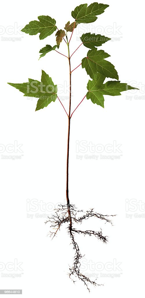 Young Maple Tree royalty-free stock photo