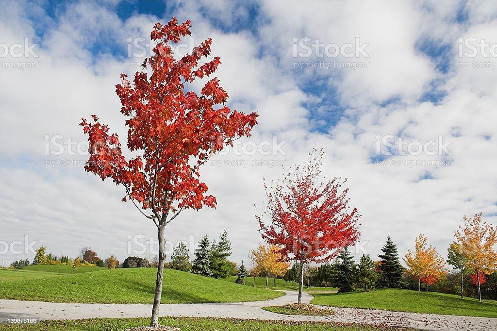 Młody w jesień Klon drzew zbiór zdjęć royalty-free