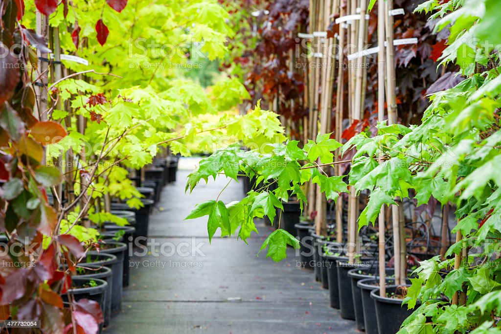 Young maple trees in plastic pots on plant nursery stock photo