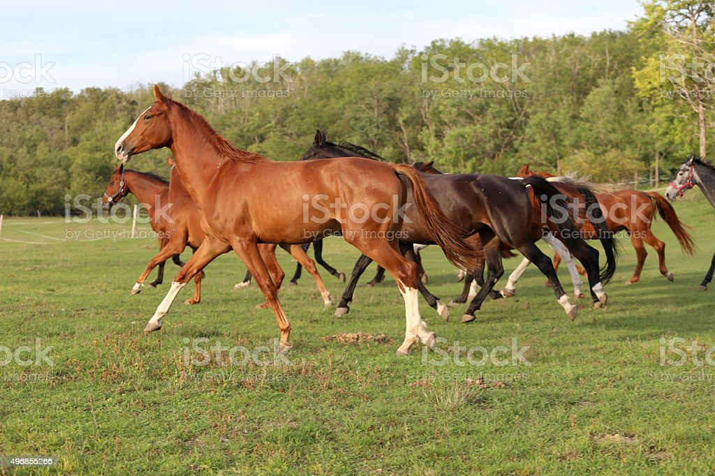 Young  mares and foals running  across the pasture stock photo