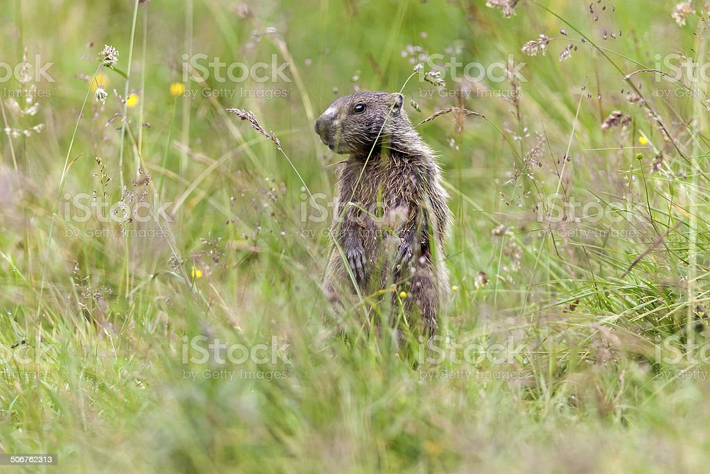 Young marmot stock photo