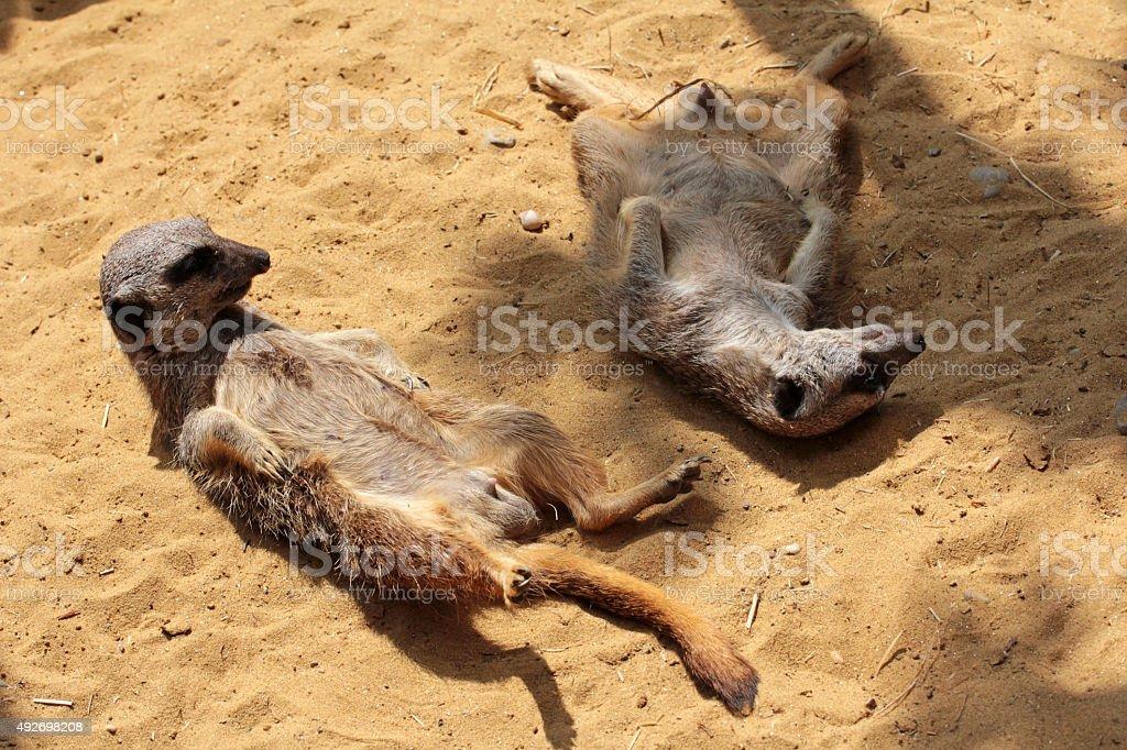 young meerkats enjoy the warm sand stock photo