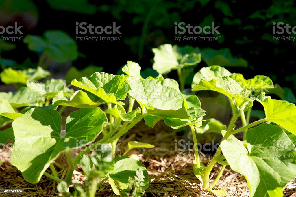 Young melon plant stock photo