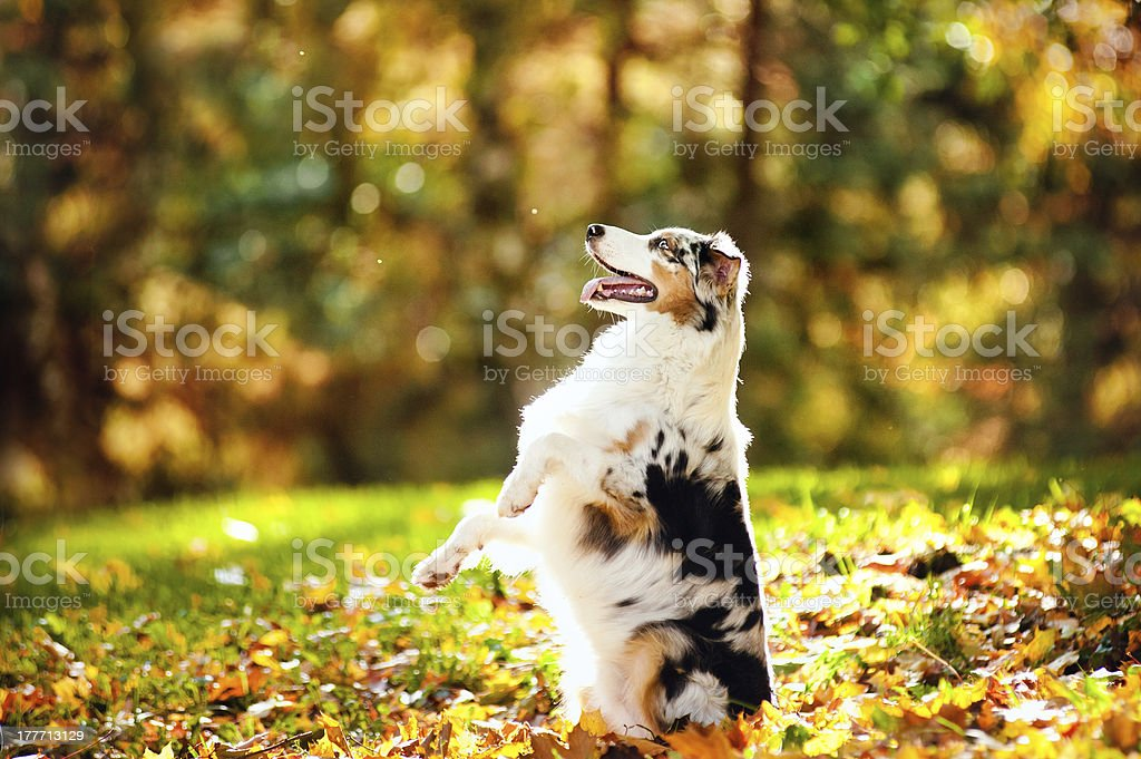 young merle Australian shepherd performs a trick royalty-free stock photo