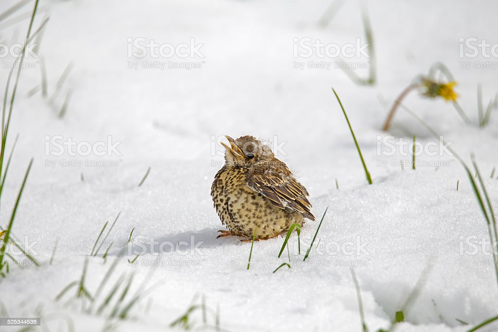 Young mistle thrush in the snow stock photo