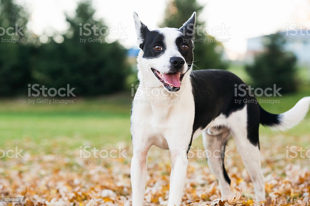Young mixed breed black and white dog with happy smile stock photo