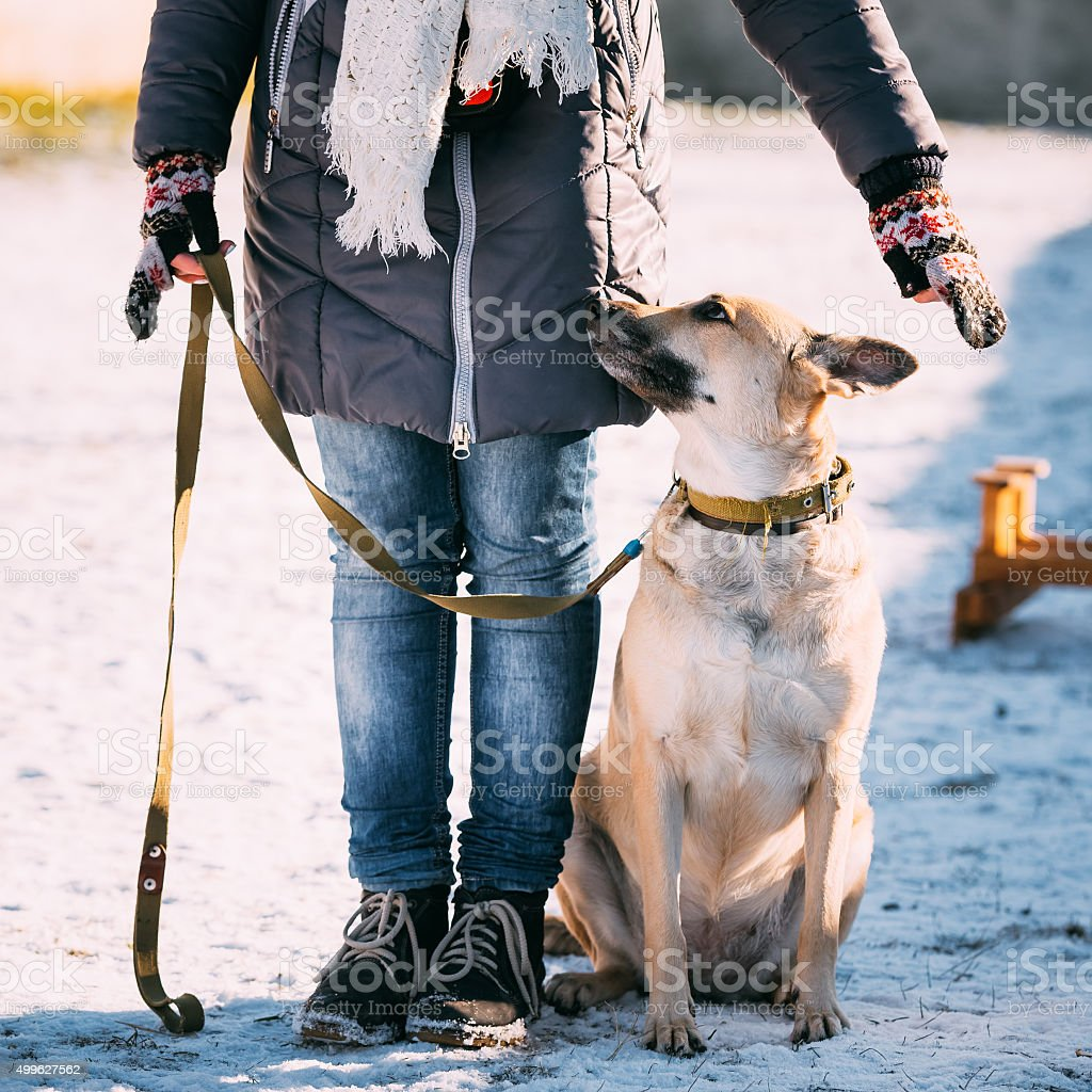 Young mixed breed Dog stands near owner during training. stock photo