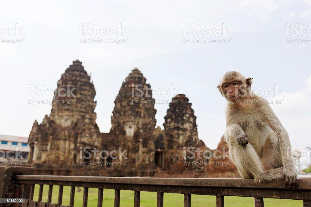 young monkey at Wat Phra Prang Sam Yot , Lopburi, Thailand. stock photo