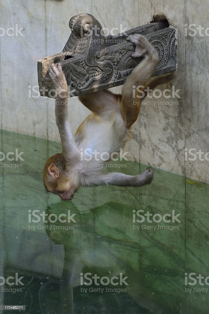 young monkey royalty-free stock photo