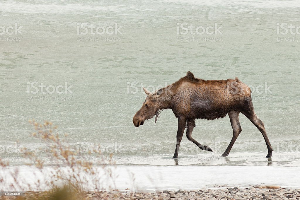 Young moose wading in shallow water of frozen lake stock photo