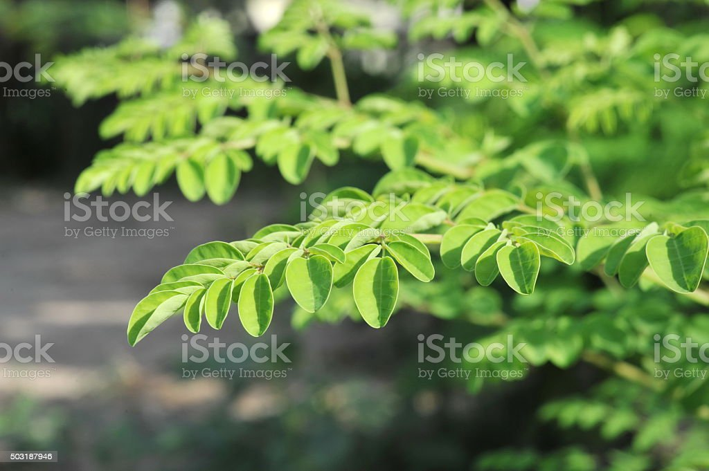 Young Moringa leaves in nature light stock photo