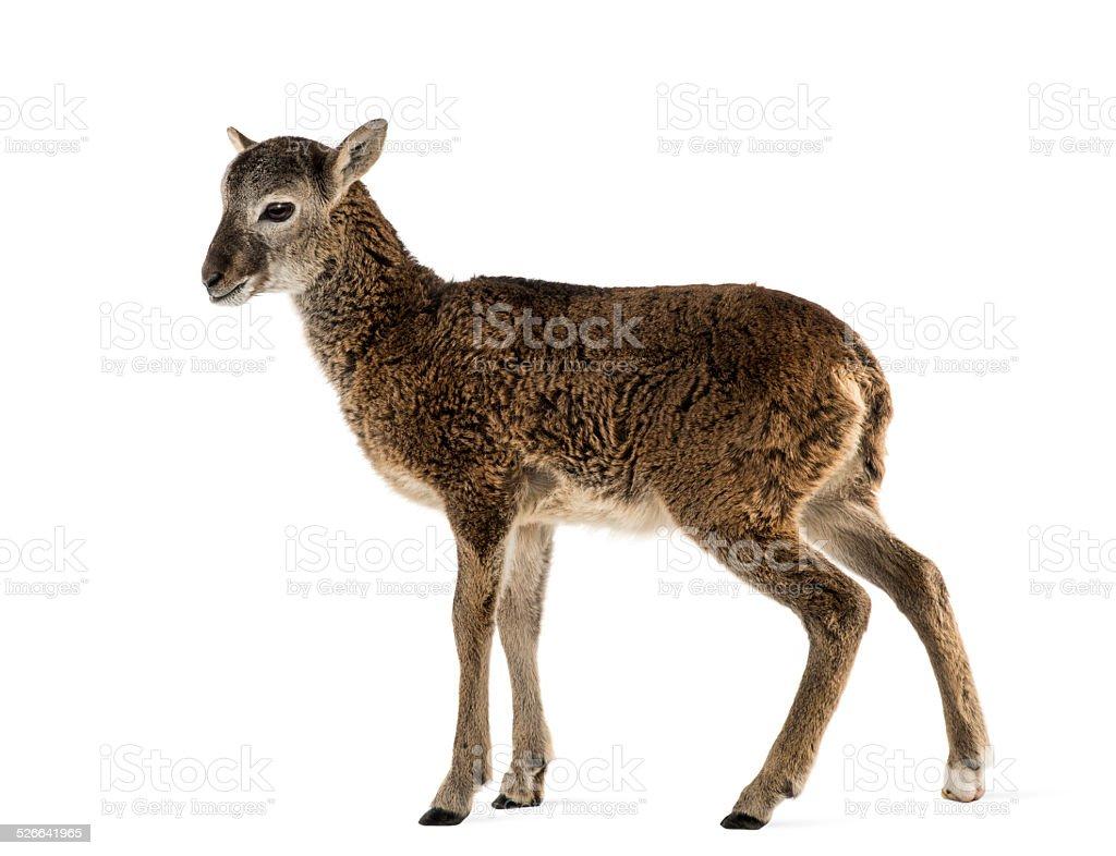 Young mouflon - Ovis orientalis isolated on white stock photo