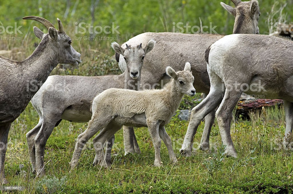 Young Mountain Goats royalty-free stock photo