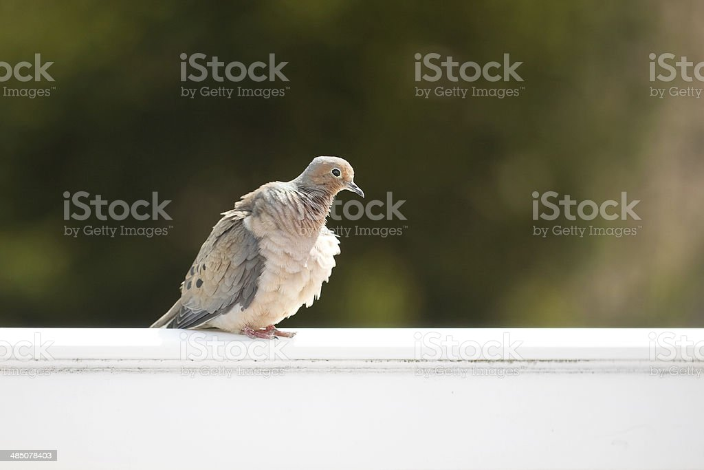 Young Mourning Dove stock photo