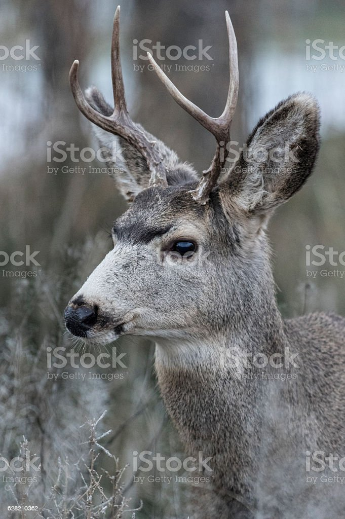 Young mule deer buck stock photo