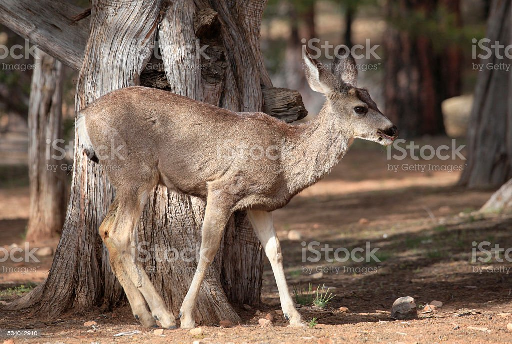 Young Mule Deer in the Cedar Grove stock photo