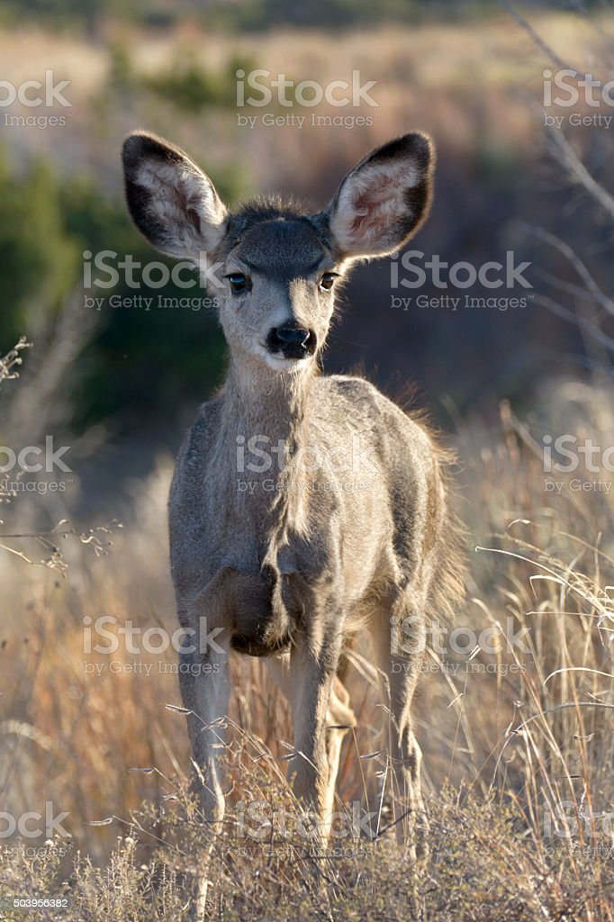 Young mule deer tall grass Caprock Canyons State Park Texas stock photo
