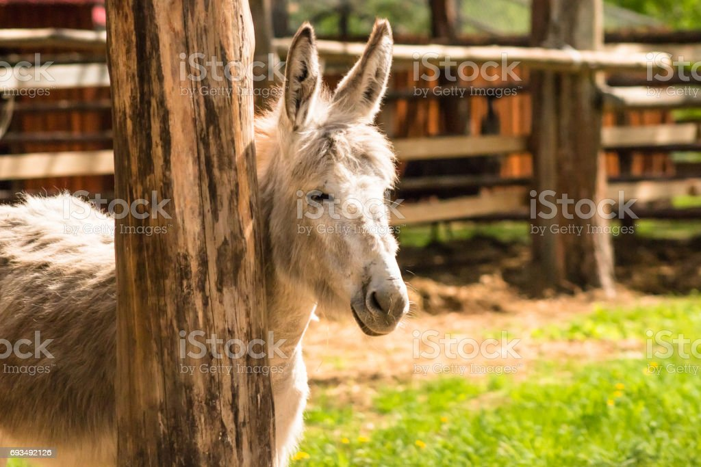 Young mule is basking in the sun near a wooden pillar. stock photo