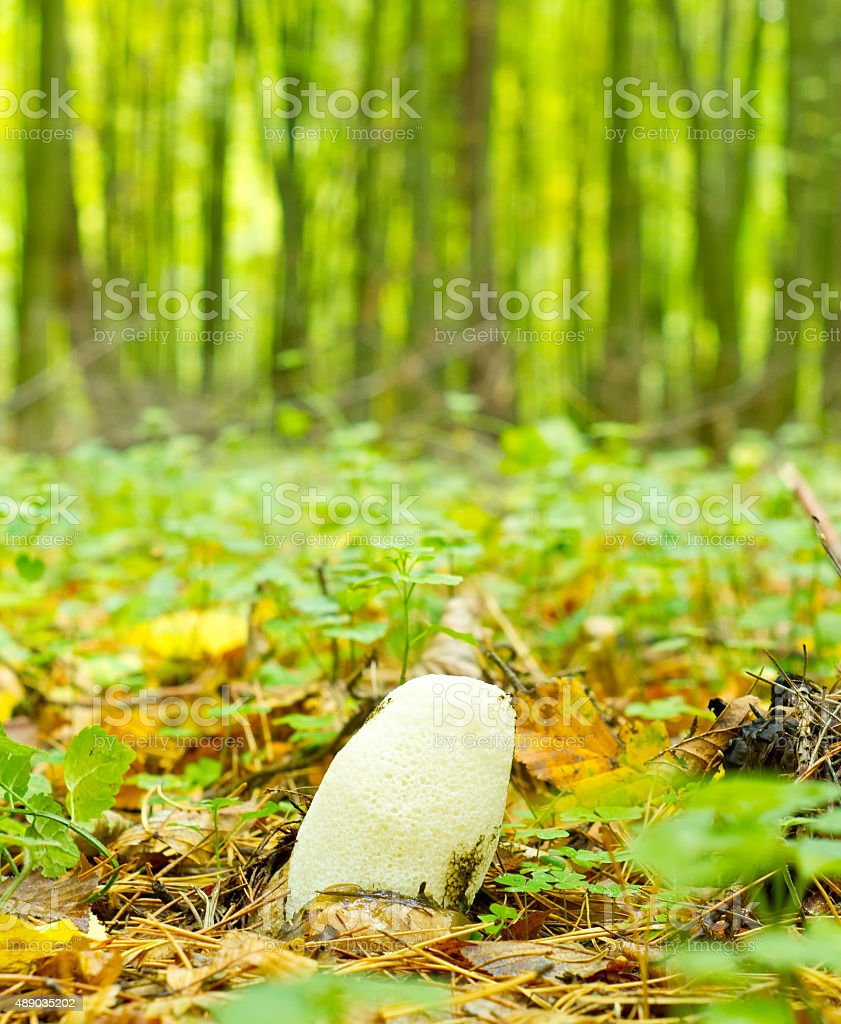 Young mushroom (Phallus impudicus) stock photo