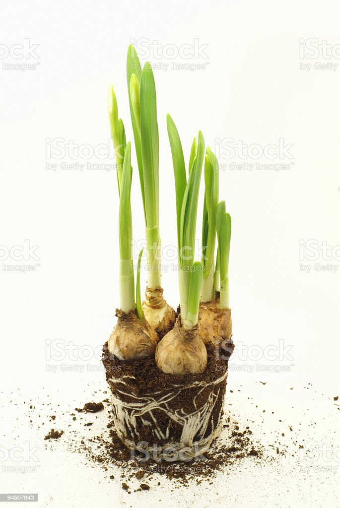 young narcissus royalty-free stock photo