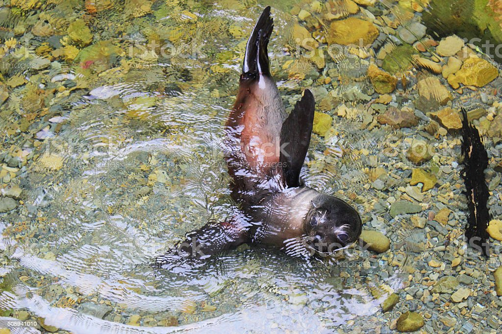 Young New Zealand Fur Seal Pup swimming in Clear Water stock photo