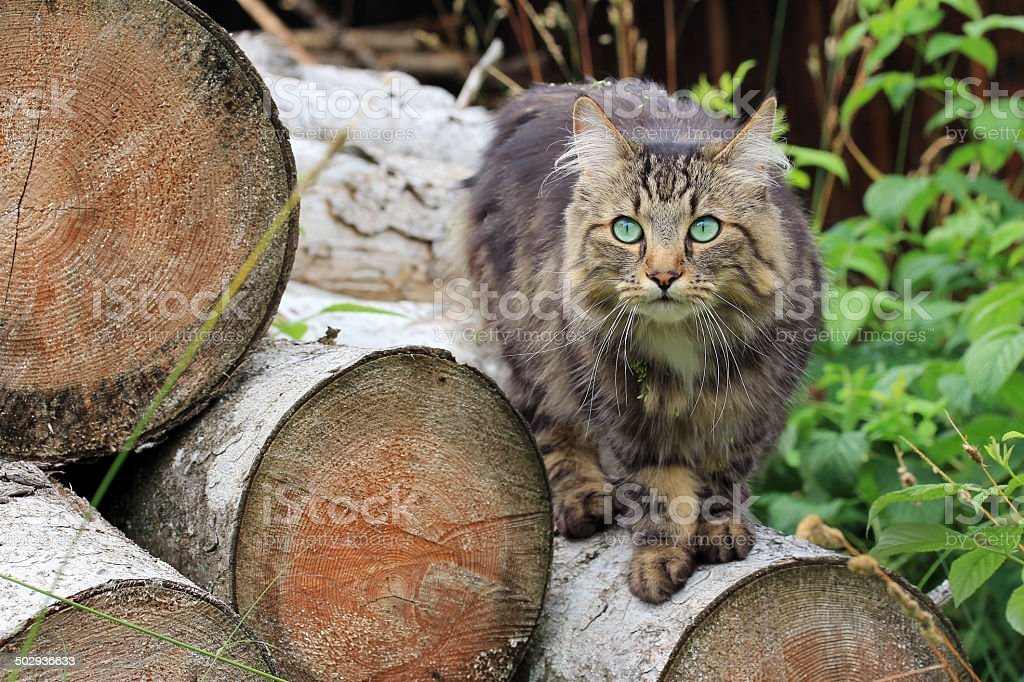 Young Norwegian Forest Cat stock photo