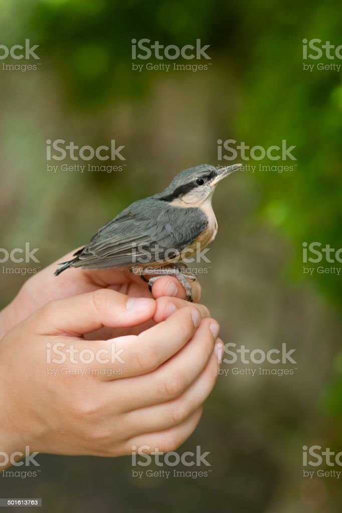 Young nuthatch (Sitta europaea) in child's hands stock photo