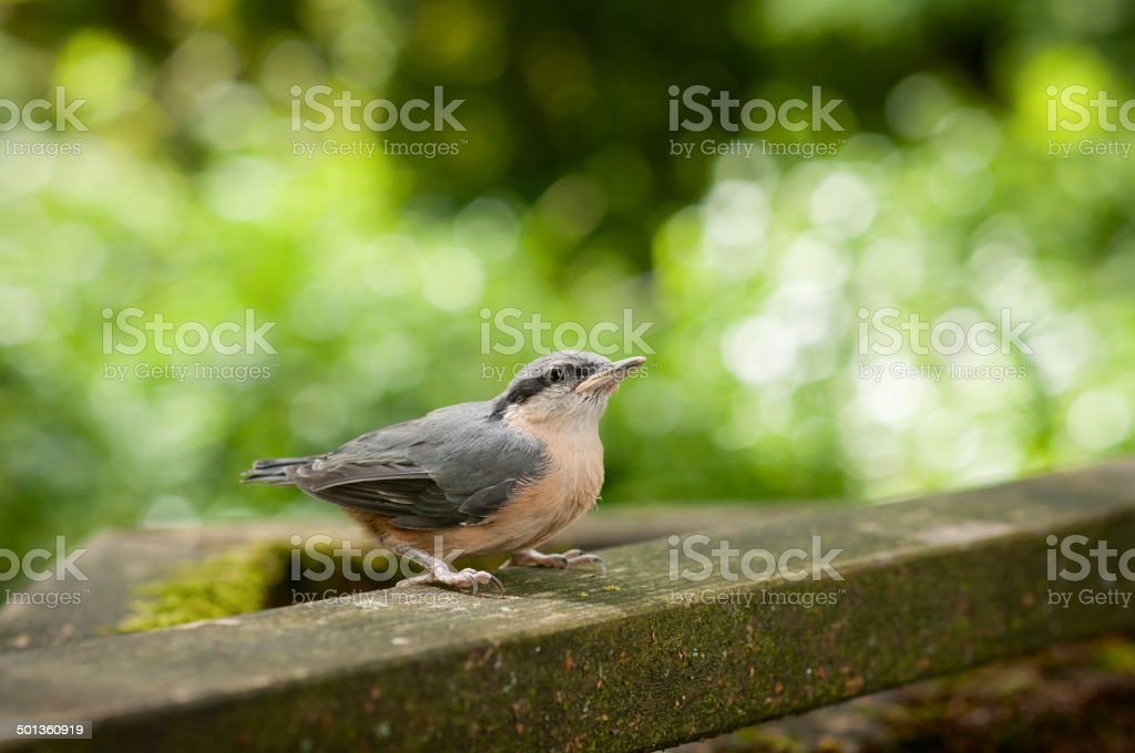 Young nuthatch sitting on wooden board stock photo