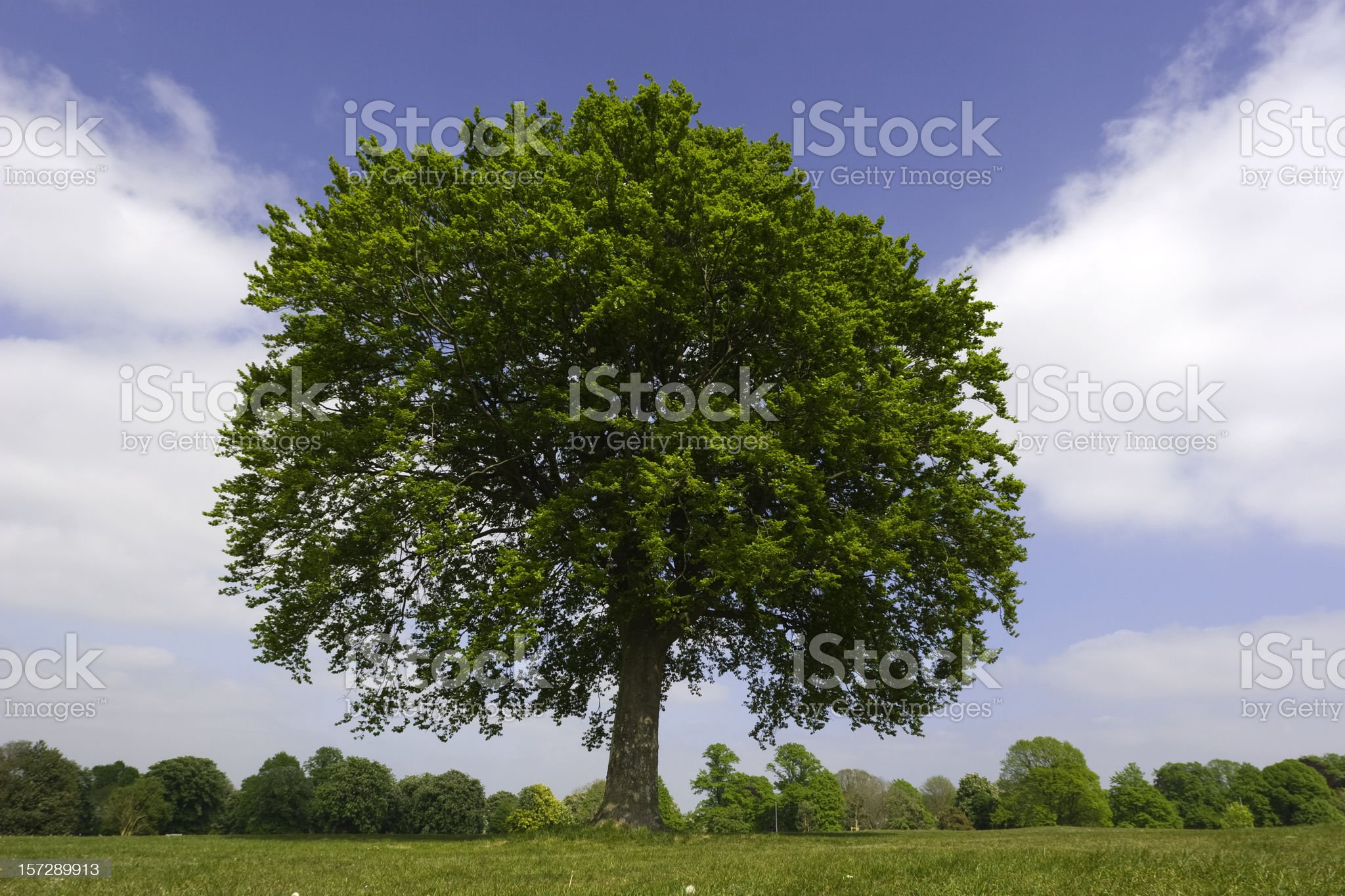 Young Oak In Summer royalty-free stock photo