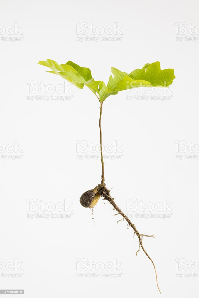 Young oak seedling close up stock photo