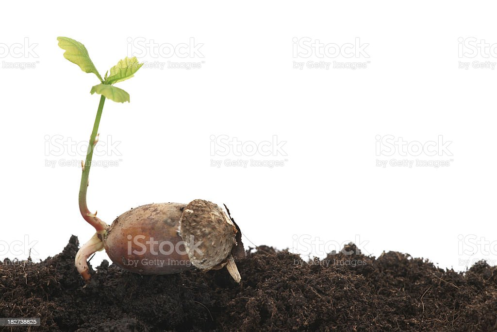 Young oak tree against white background stock photo