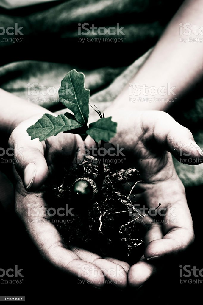 young oak tree in childs hands symbolising growth royalty-free stock photo