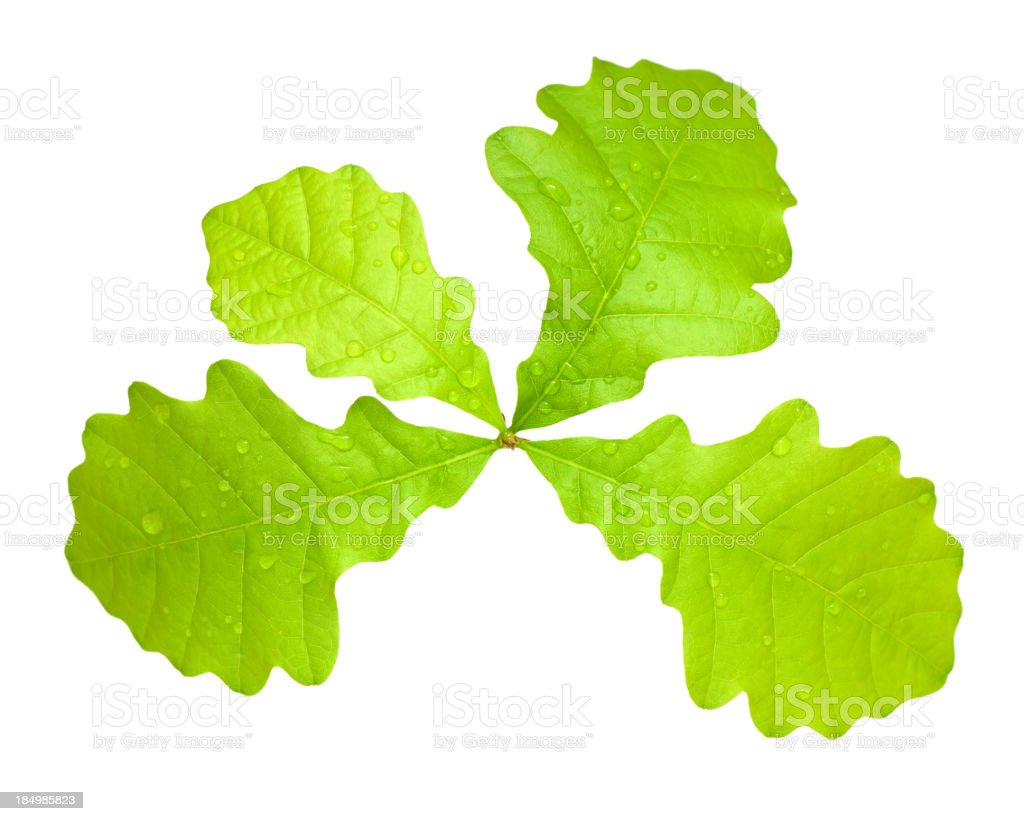 Young Oak Tree isolated on white royalty-free stock photo