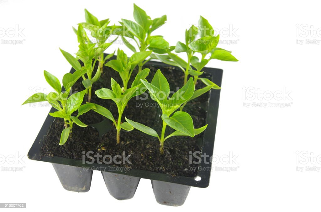 young of the paprika seedling stock photo