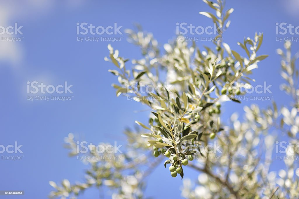 Young olives in Provence, france stock photo