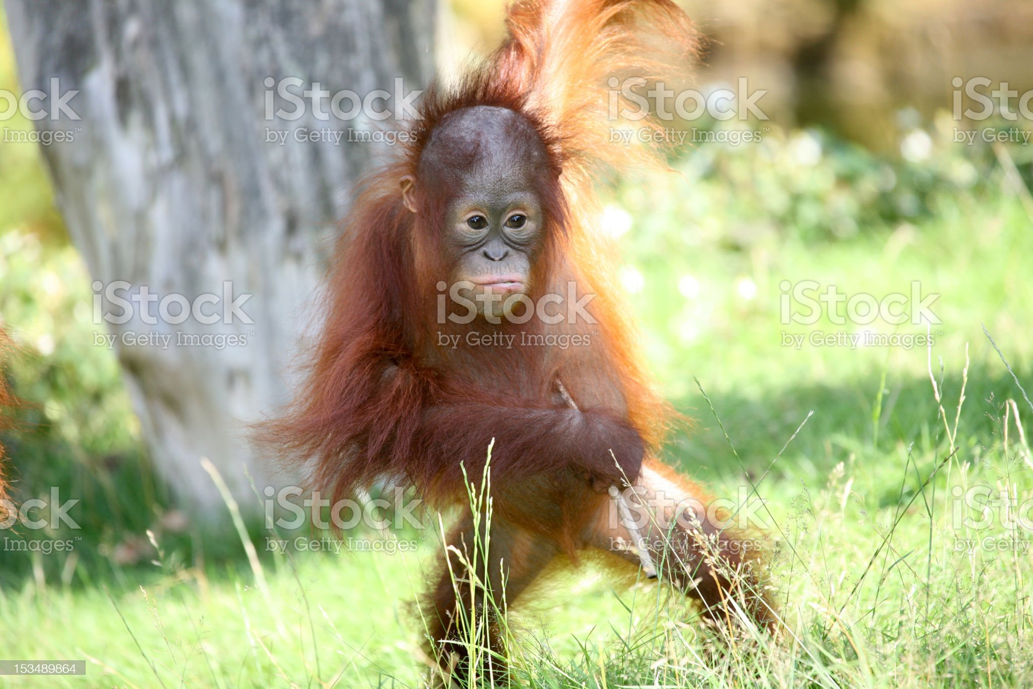 Young orang utan royalty-free stock photo
