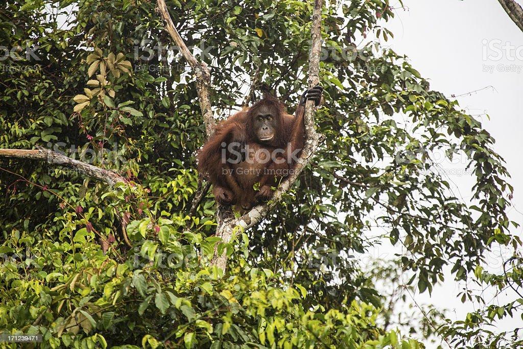 Young Orang Utan sitting in the tree stock photo