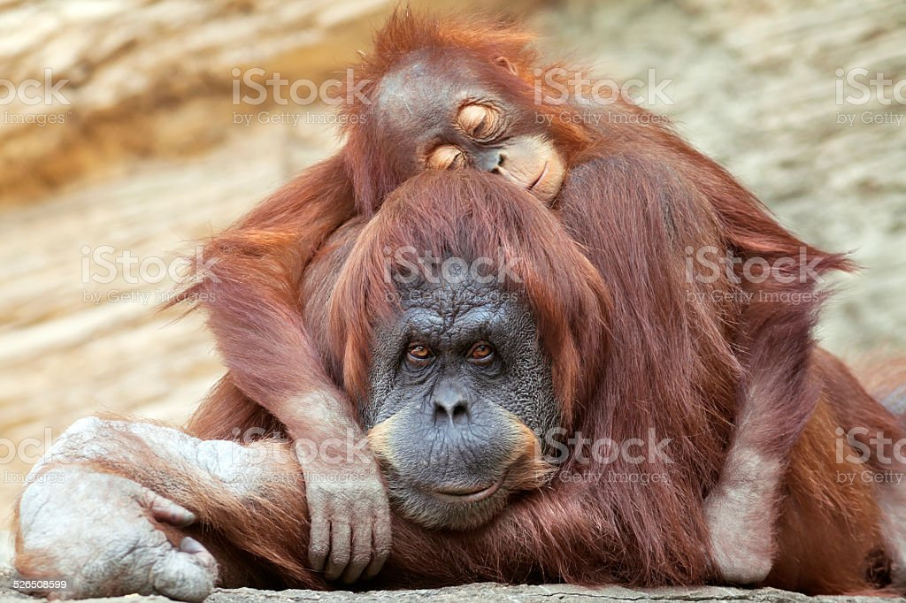 Young orangutan is sleeping on its mother. stock photo