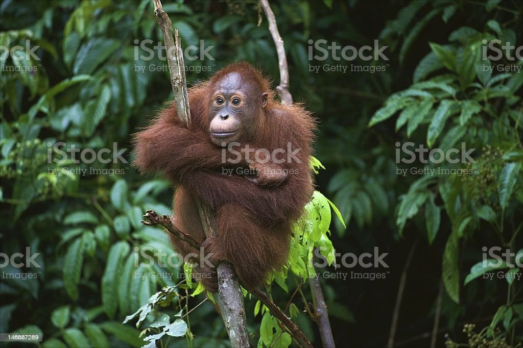 Young Orangutan sitting on the tree stock photo