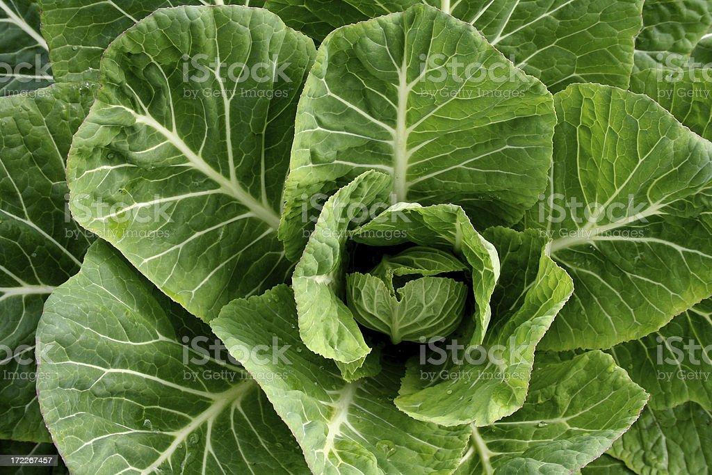 Young, Organic Collard Greens stock photo