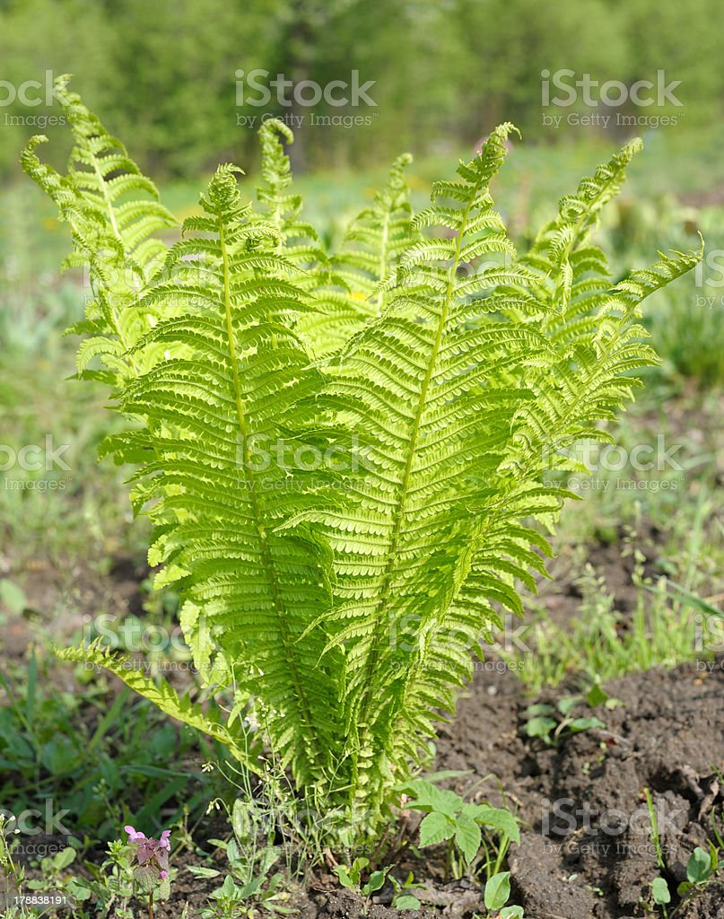 young ostrich fern stock photo