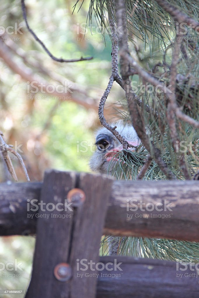 Young Ostrich royalty-free stock photo