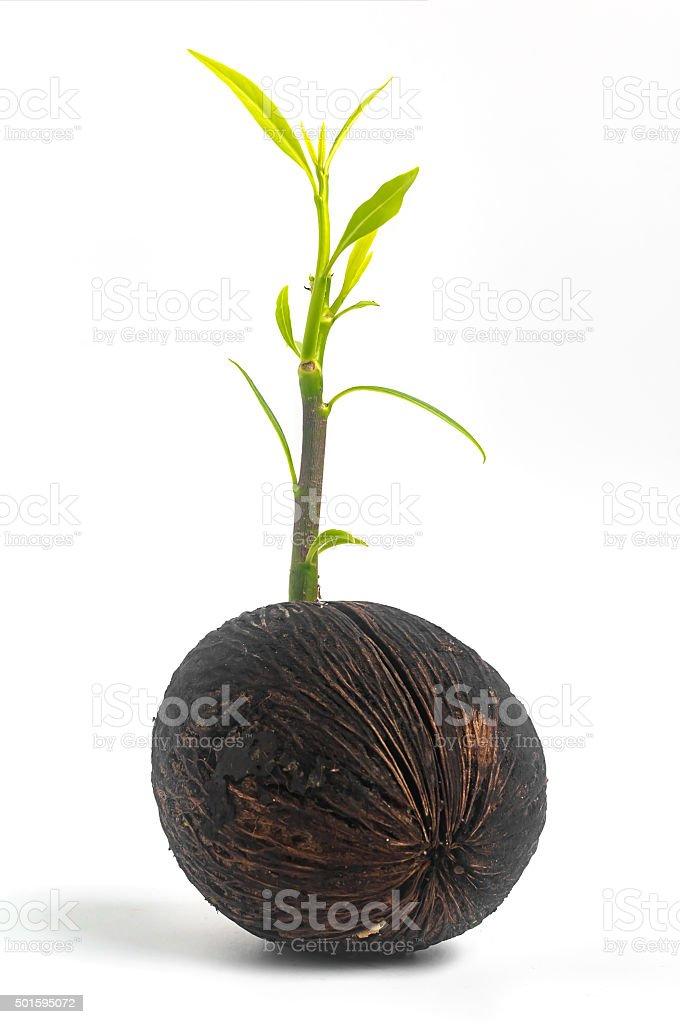 Young othalanga sprout seed and leaf on white background stock photo