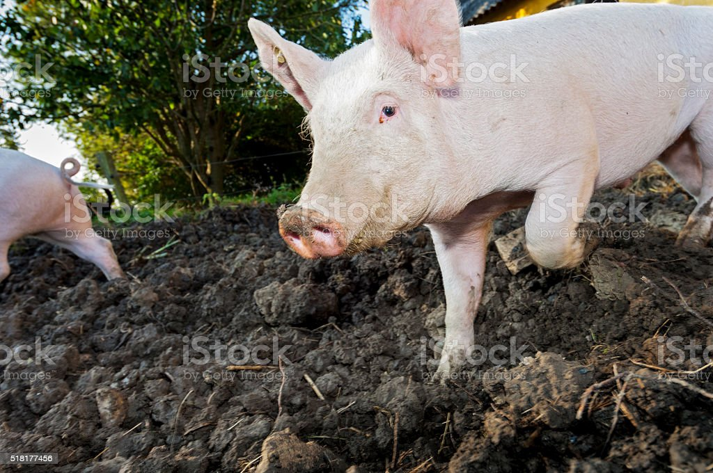 Young Outdoor Raised Pig Running Around His Pigpen stock photo