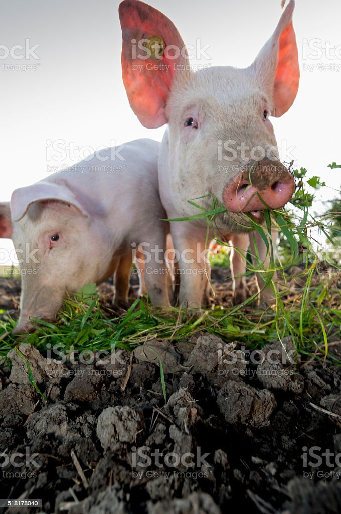 Young Outdoor Raised Pigs stock photo
