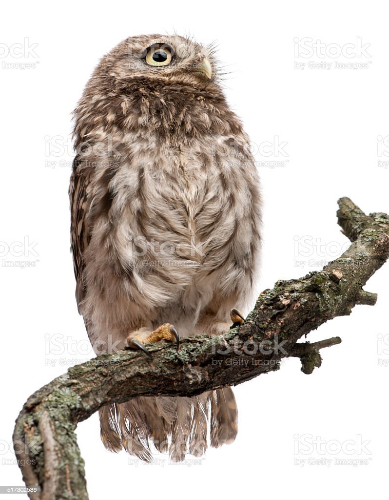 Young owl perching on branch in front of white background stock photo