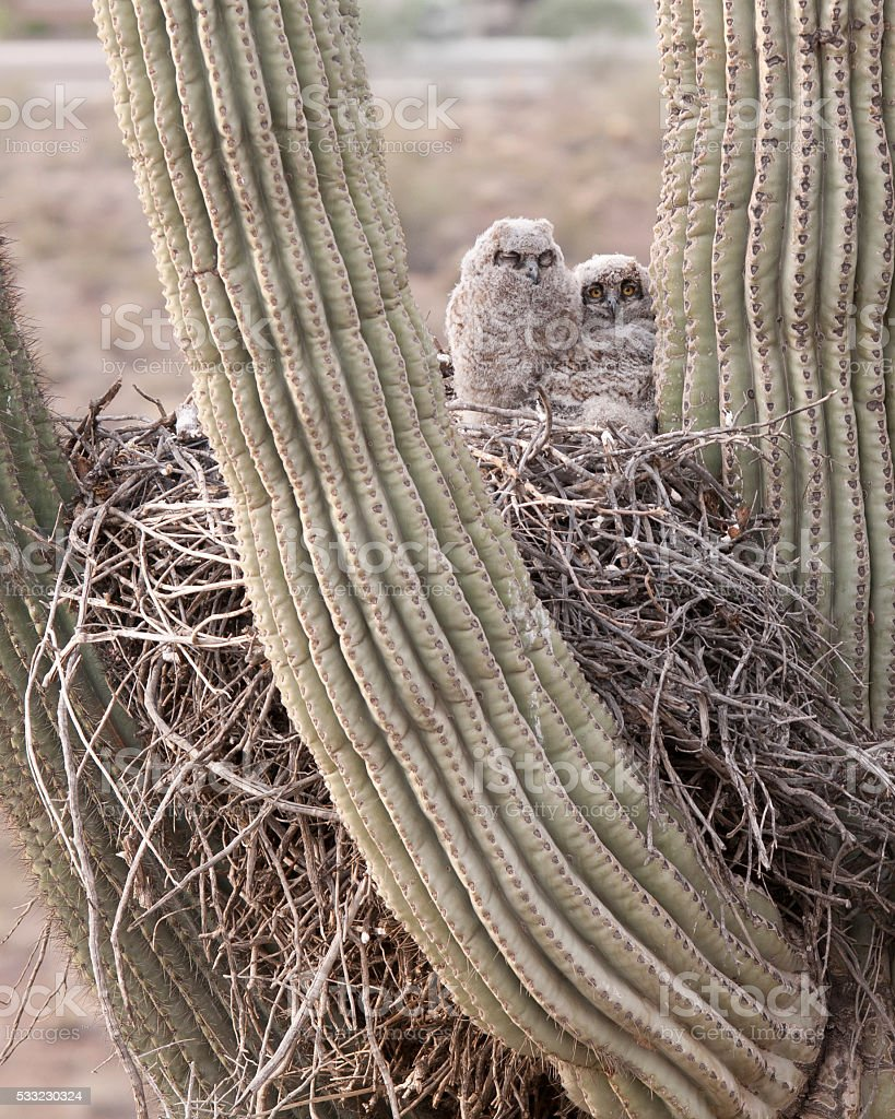 Young owls on nest in a Saguaro Cactus stock photo