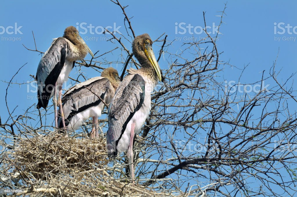 Young Painted stork on the nests stock photo
